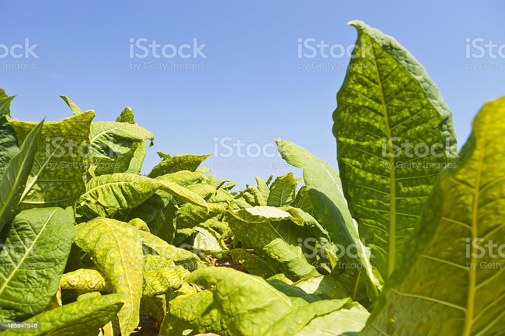 Tobacco Crop stock photo
