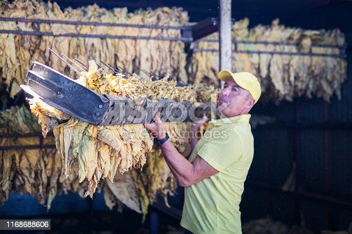 Adult man working in tobacco factory, he holding crate with dry leafs from dryer container.