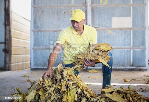 Senior adult working in tobacco factory, they sorting dry tobacco leafs.