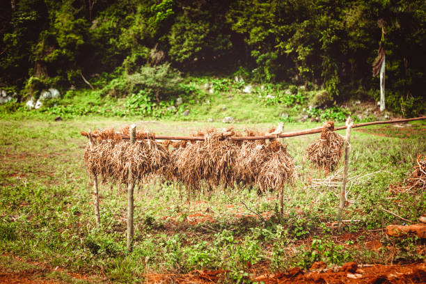 tobacco drying on cuban farm - katiedobies stock pictures, royalty-free photos & images