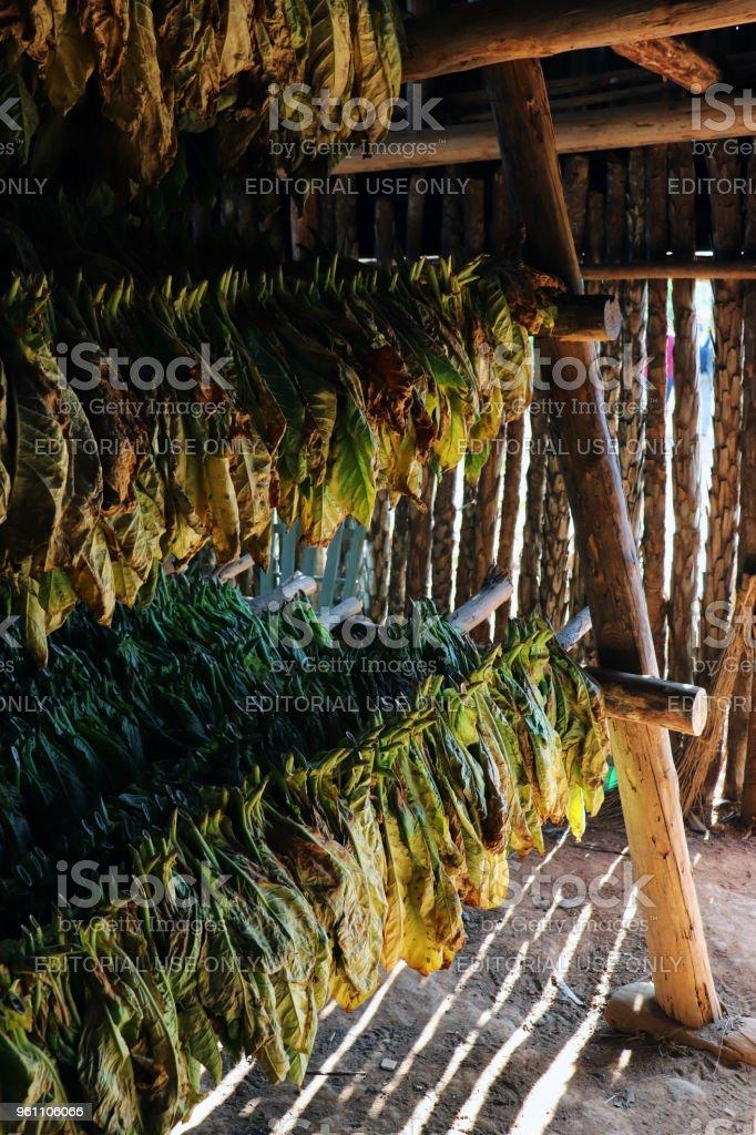 Tobacco farm stock photo