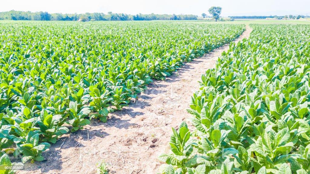 Tobacco farm Tobacco field stock photo