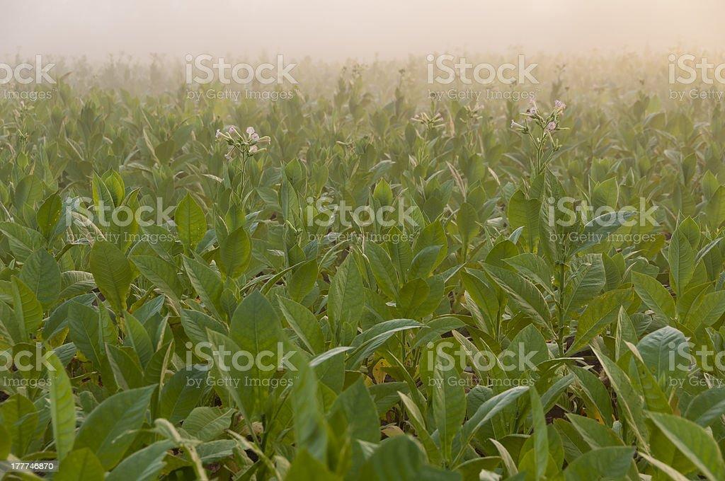 Tobacco field in Cuba royalty-free stock photo