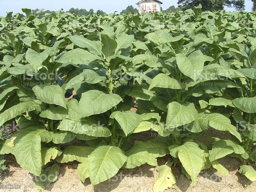 Tobacco Field stock photo