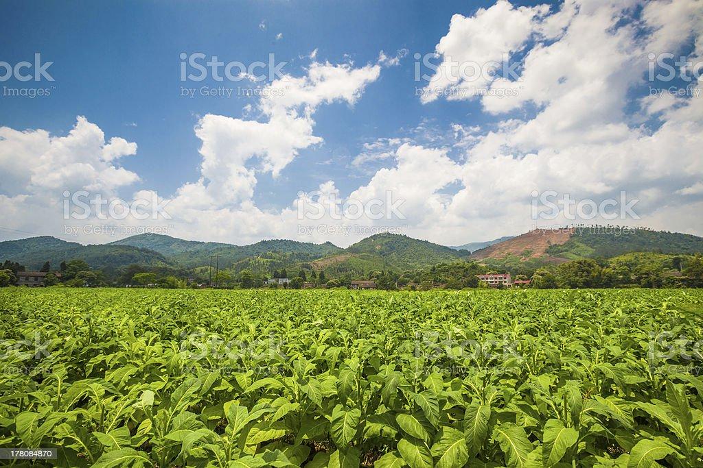 tobacco field stock photo