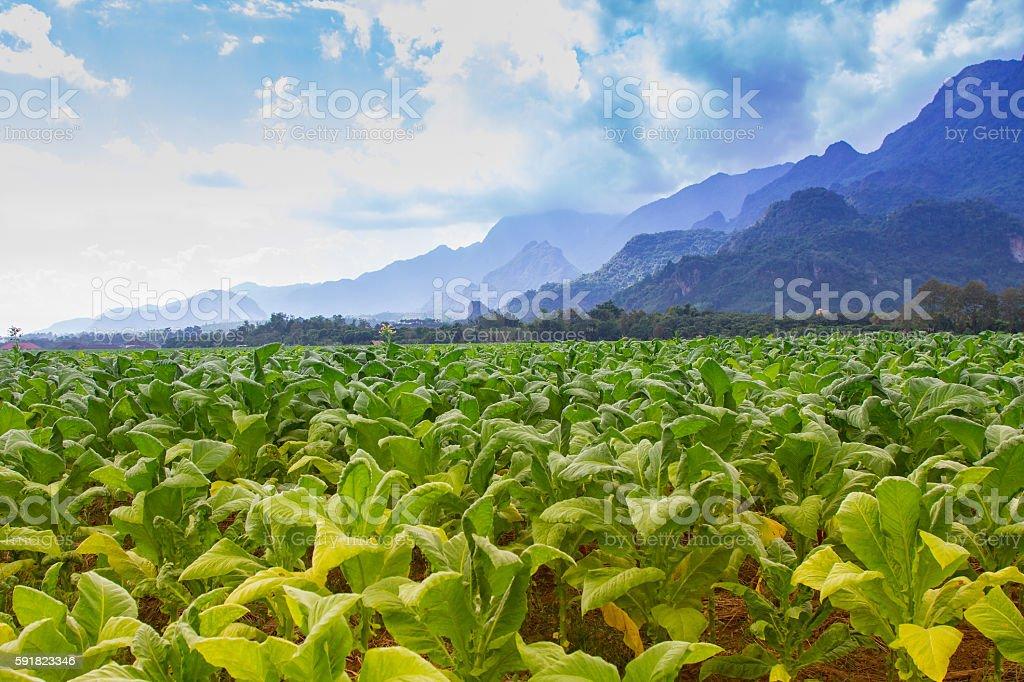 Tobacco field plantation under blue sky stock photo