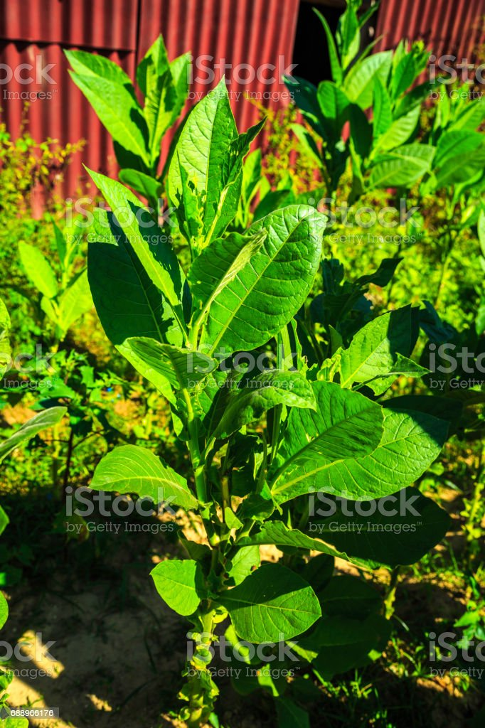 Tobacco fields in Viñales stock photo
