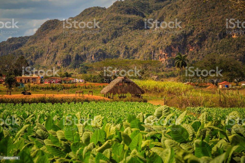Tobacco fields in Viñales stock photo