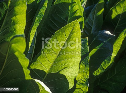 Tobacco plantation, Tobacco planted at the farm on a bright  day