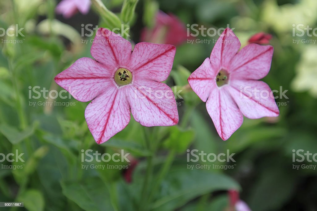 Tobacco flowers stock photo
