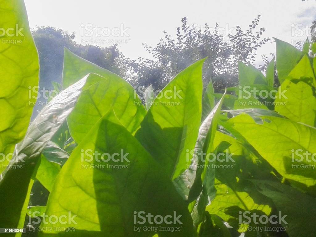 tobacco green leaves stock photo