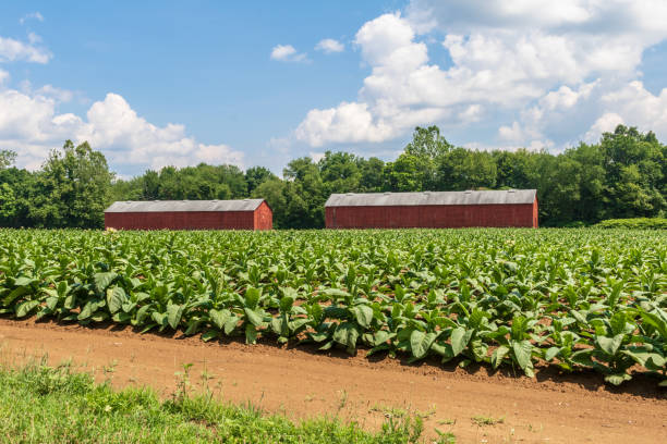 Tobacco growing near two red drying sheds in East Windsor, Connecticut stock photo