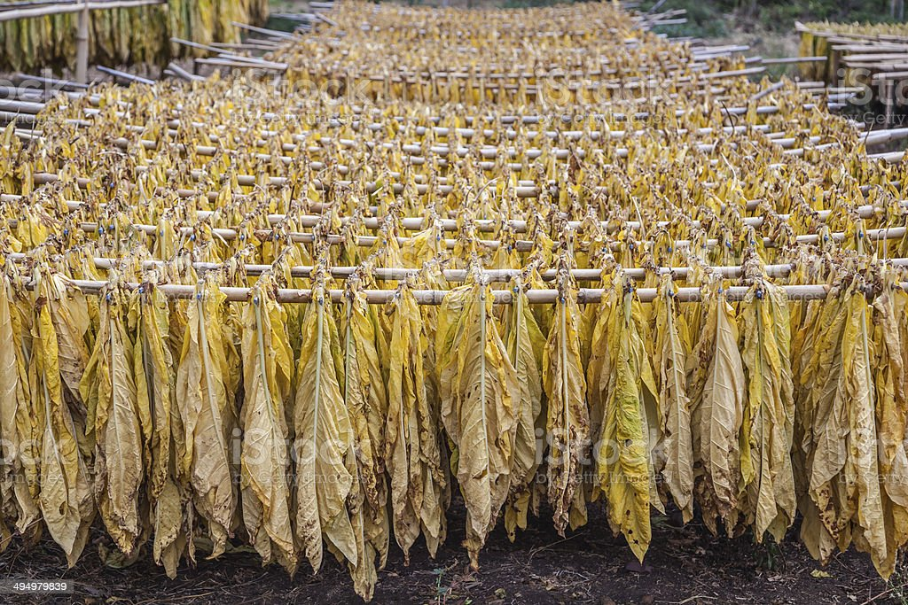 Tobacco hanging to dry stock photo
