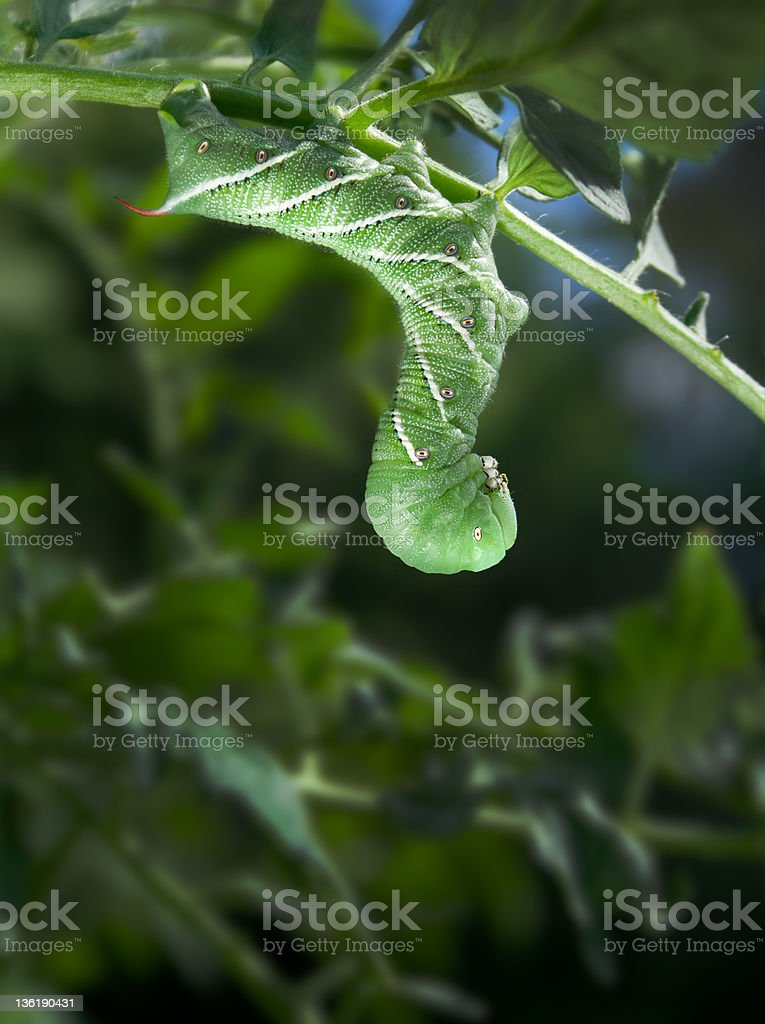 Tobacco Hornworm (Manduca Sexta), hanging from a tomato plant. stock photo