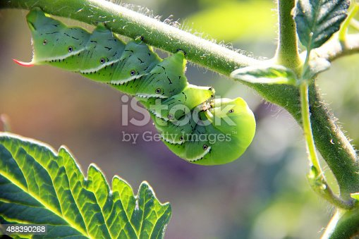A close-up of a tobacco hornworm in the garden
