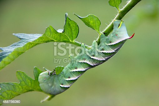 A tobacco hornworm in the tomato garden