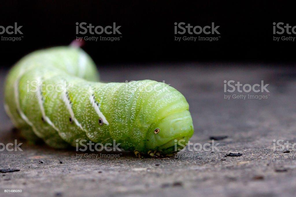 Tobacco Hornworm stock photo