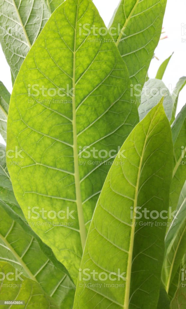 Tobacco in the field stock photo