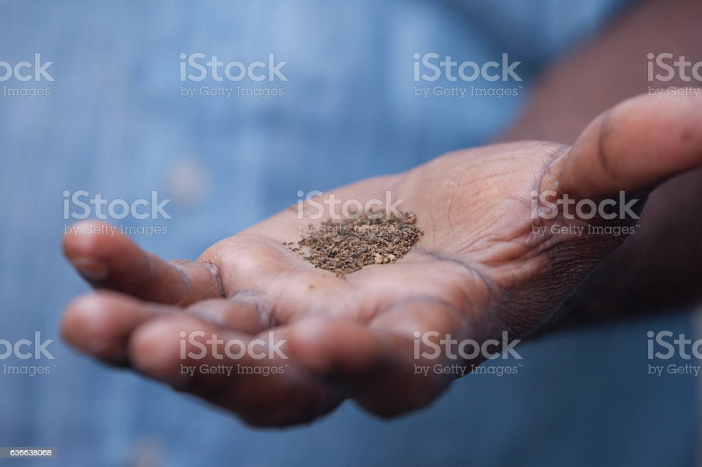 Tobacco in the palm of a hand stock photo