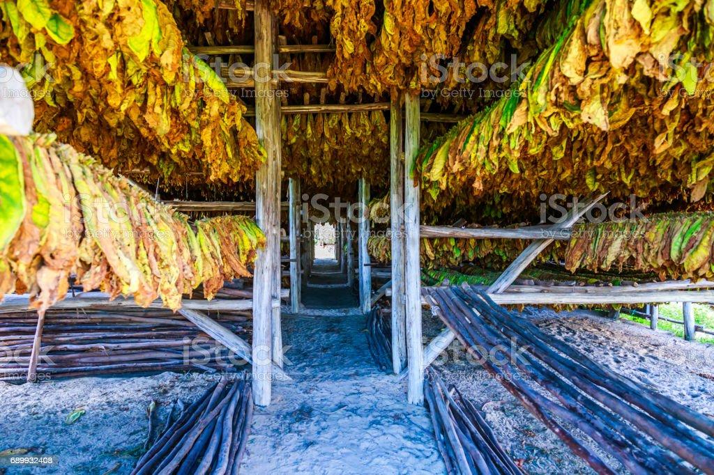 Tobacco in Viñales stock photo
