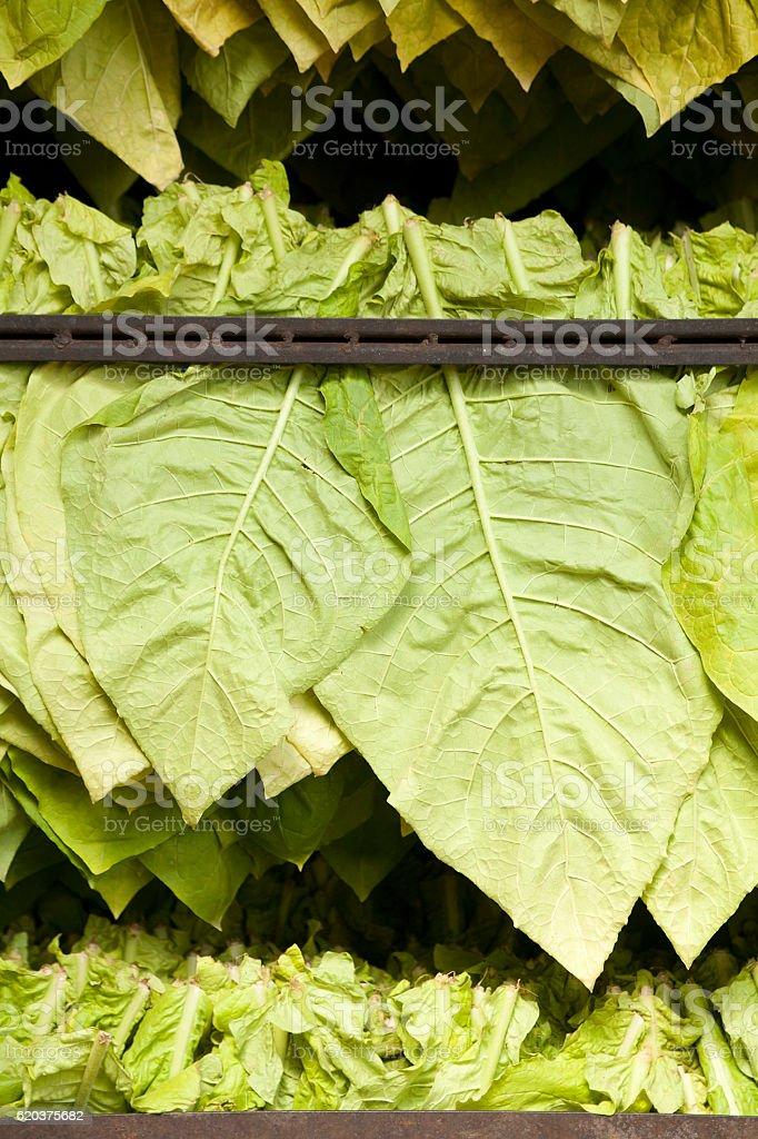 O tabaco em folha Secador de Roupas tradicionais foto de stock royalty-free