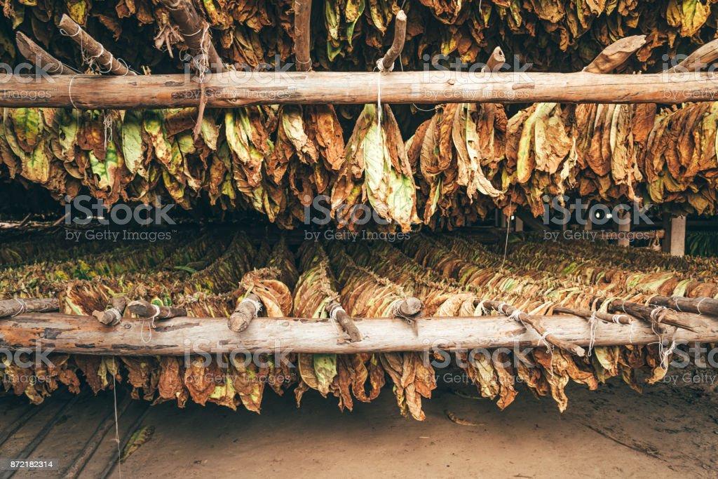 Tabakblätter trocknen in Kuba, Valle De Vinales – Foto