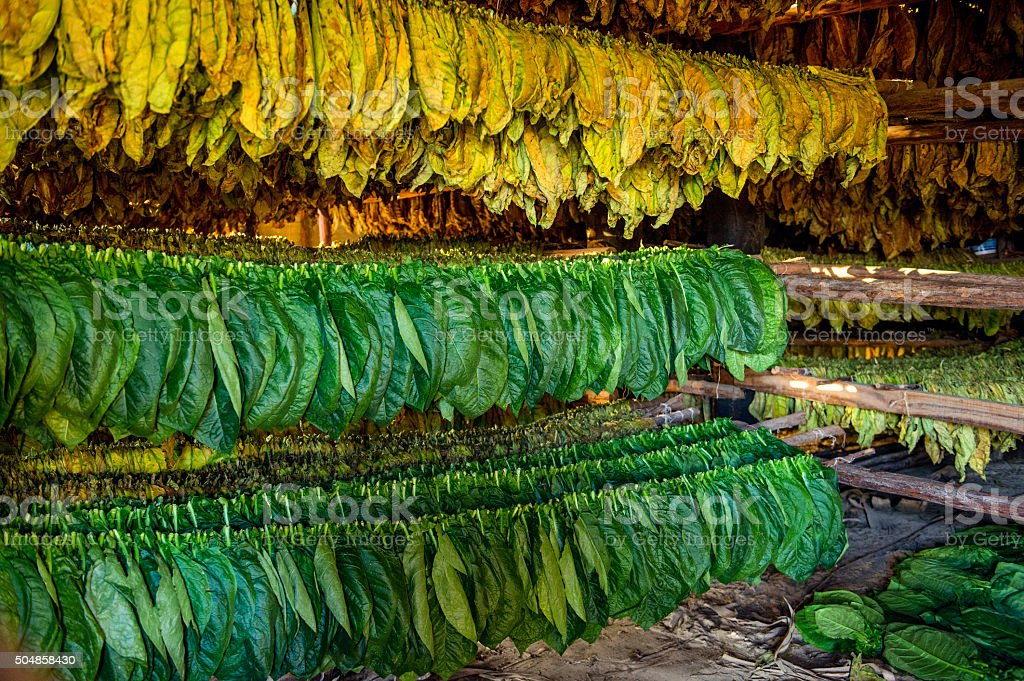 Tobacco leaves drying in the shed. stock photo