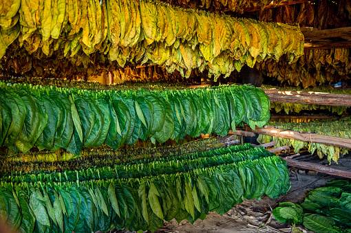 Tobacco Leaves Drying In The Shed Stock Photo Download