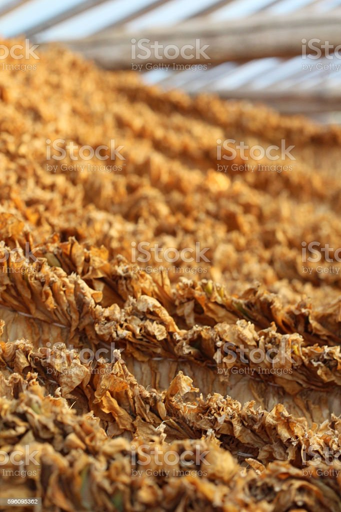 Tobacco leaves drying royalty-free stock photo