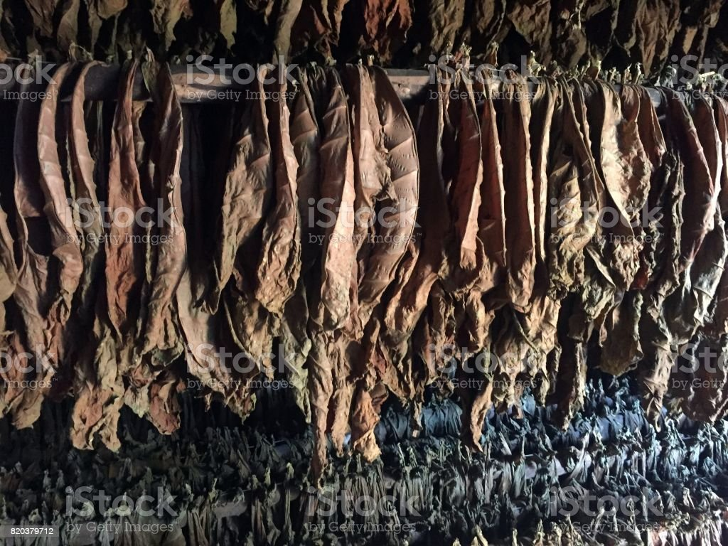 Tobacco leaves hang to dry stock photo