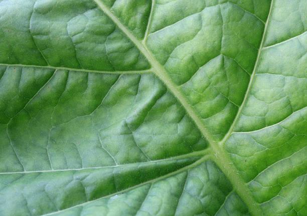 Tabak Blätter – Foto