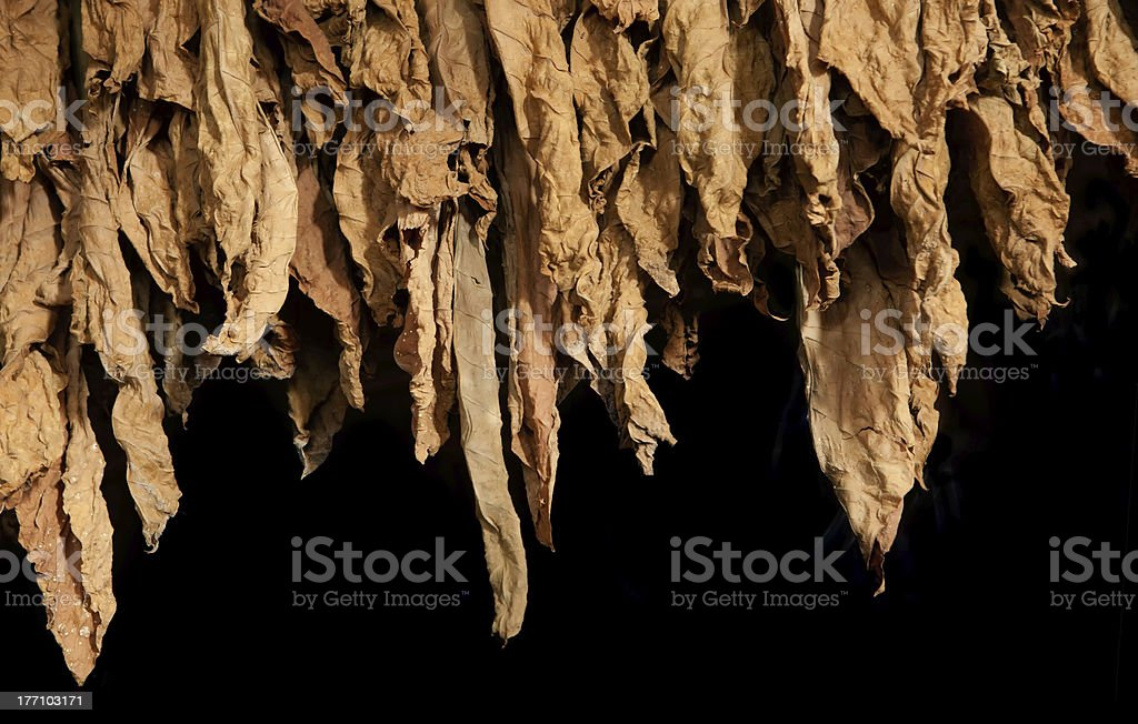 tobacco leaves stock photo