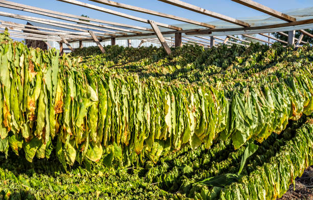 Tobacco leaves Tobacco leaves hung up to dry in the shed. Raw tobacco leaf under sun. Tobacco leaf pile. evaporation stock pictures, royalty-free photos & images
