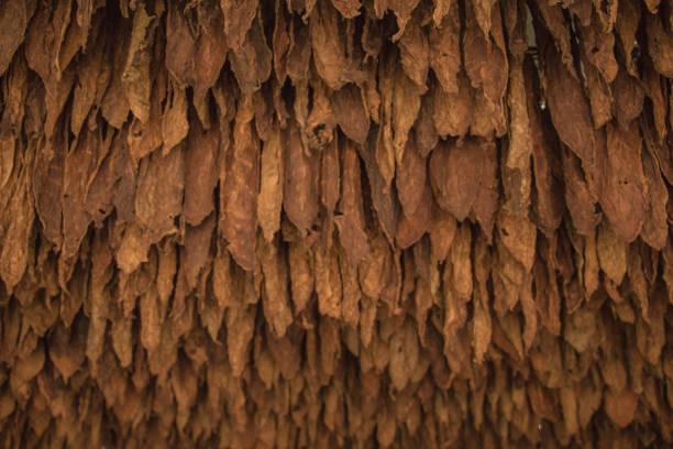 tabak blätter - pökeln stock-fotos und bilder