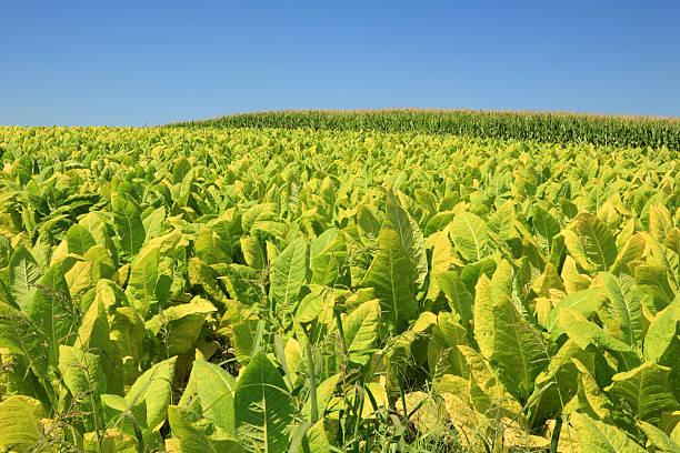 Tobacco plant field