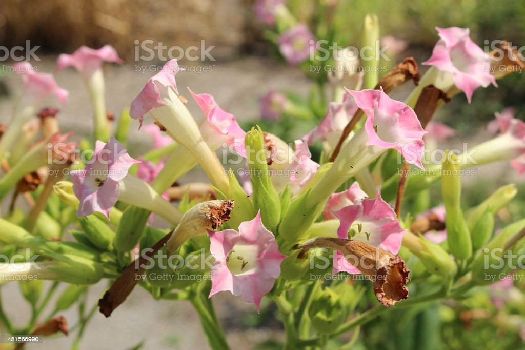 Tobacco Plant Flowers Nicotiana Tabacum Stock Photo & More