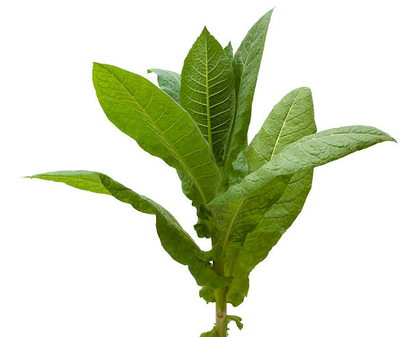 Tobacco Plant. Isolated on white. crop plant stock pictures, royalty-free photos & images