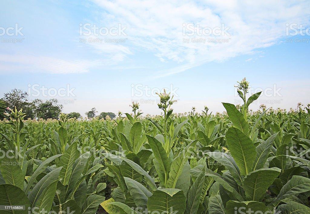 Tobacco plantation in Poland royalty-free stock photo