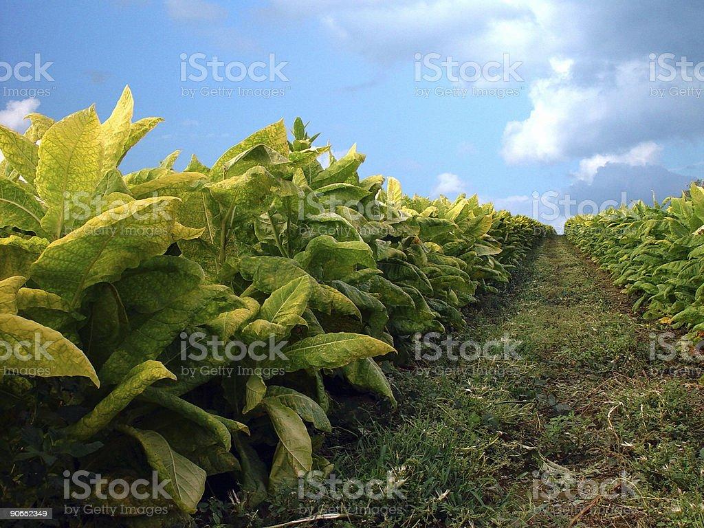 Tobacco Plants stock photo