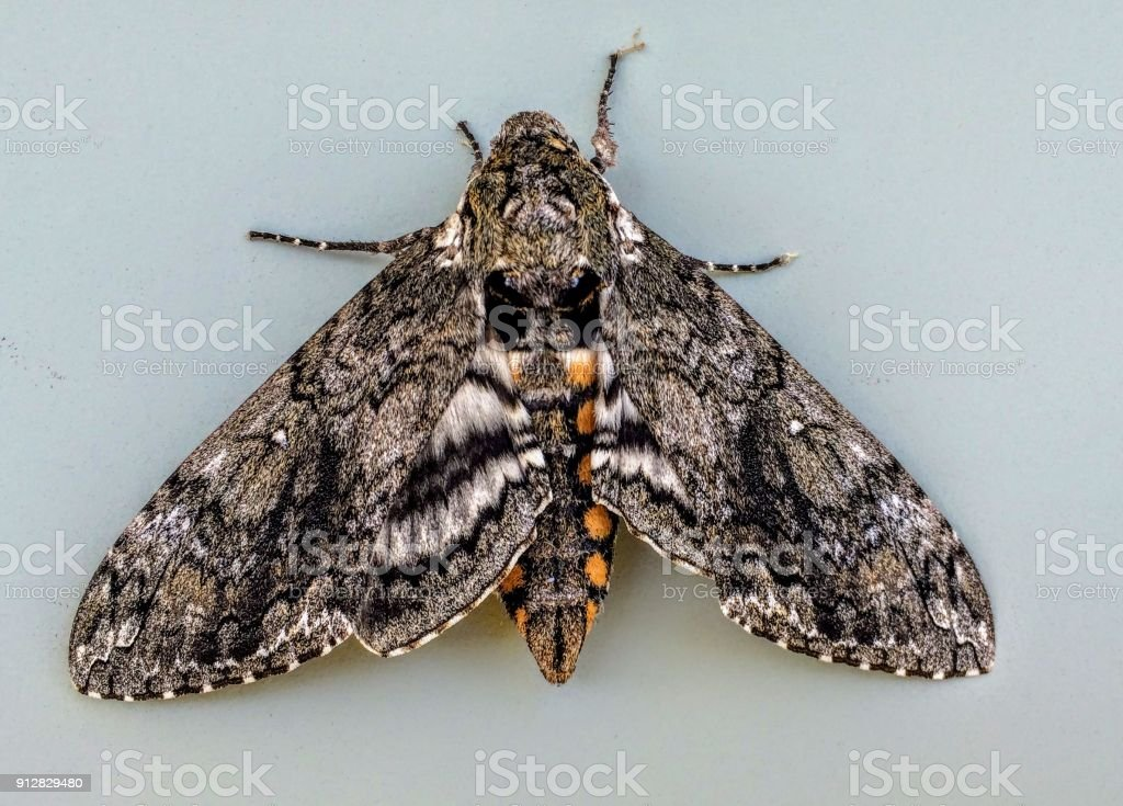 Tobacco Sphinx or Hawkmoth Manduca quinquemaculata adult closeup. The adult of the tomato hornworm is the five-spotted hawk moth. stock photo