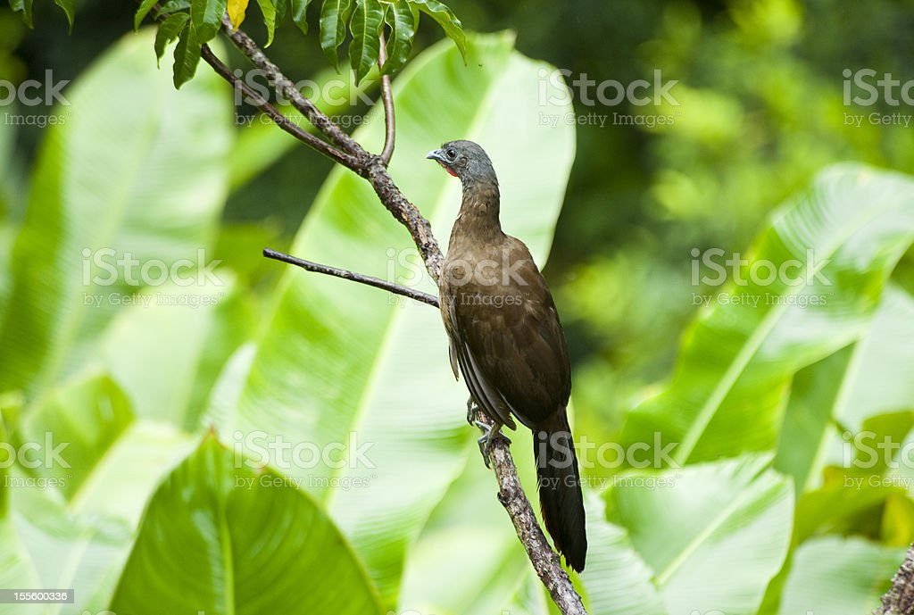 A wild cocorico which is Tobago\'s national bird sitting high in a...