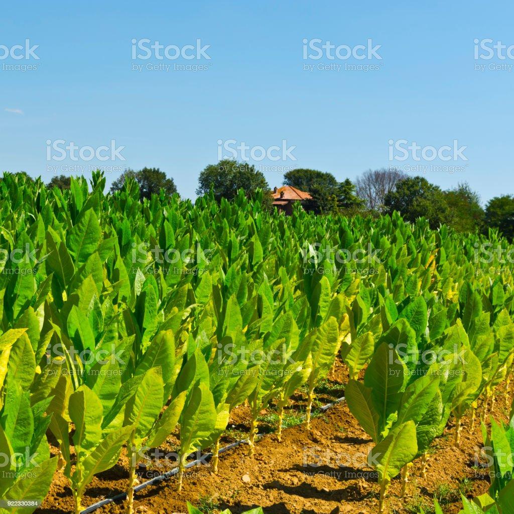 Tobbaco plantation in Tuscany. stock photo