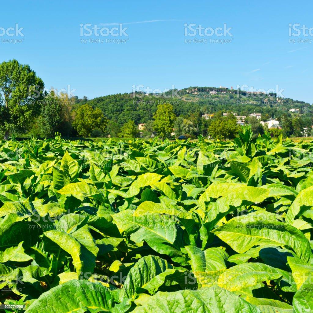 Tobbaco plantation in Tuscany stock photo