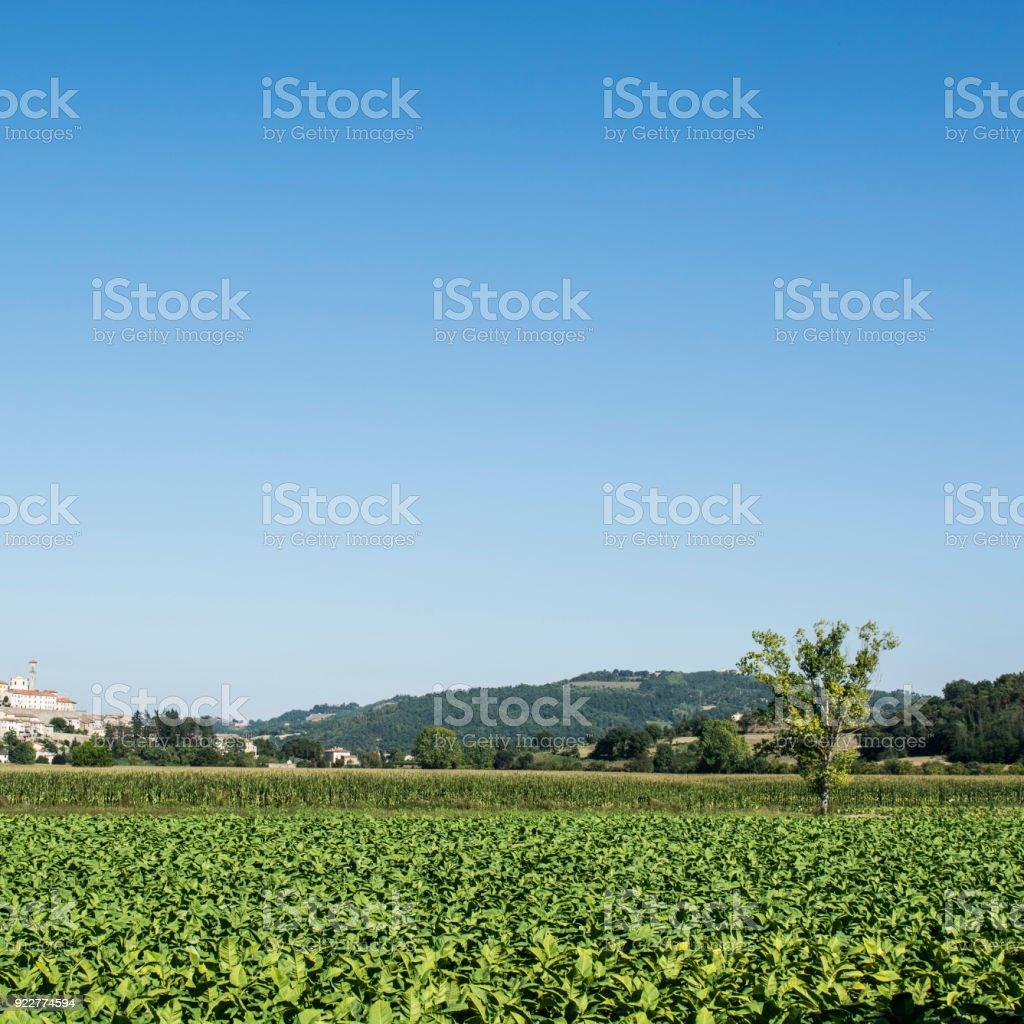 Tobbaco plantation near city of Monterchi stock photo