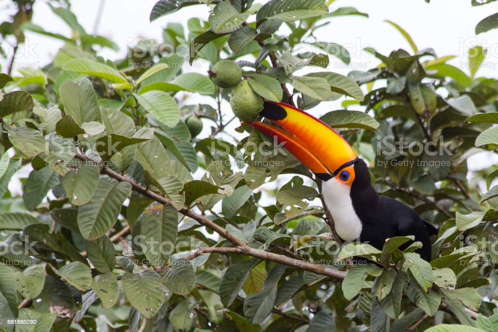 Toco toucan eating guava stock photo