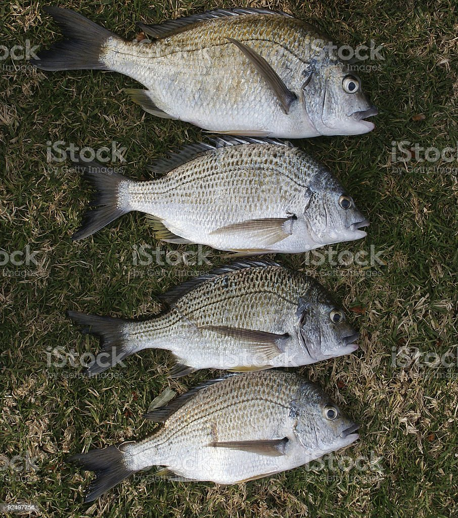 Today's Catch of Bream royalty-free stock photo