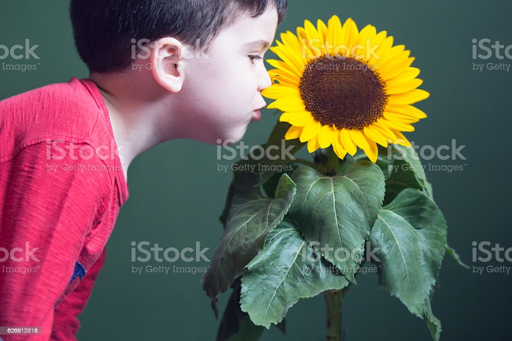 toddler and a sunflower stock photo