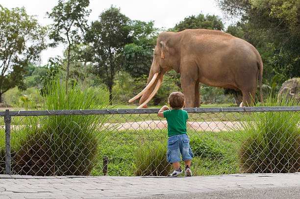 toddler boy at zoo watching elephant - animals in captivity stock pictures, royalty-free photos & images