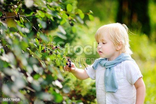 istock Toddler boy picking black currants in garden 585479458