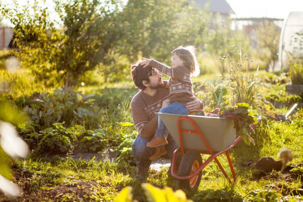 kleuter meisje en haar vader oogsten oranje pompoenen op de kruiwagen. - kruiwagen met gereedschap stockfoto's en -beelden